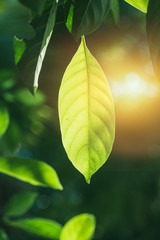 photosynthesis of chlorophyll in green leaf