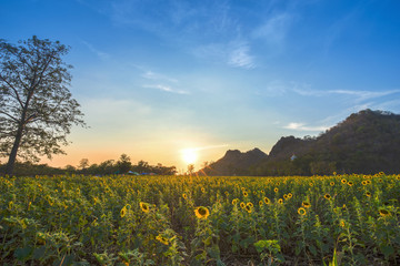 sunflower field with mountain at sunset, Thailand