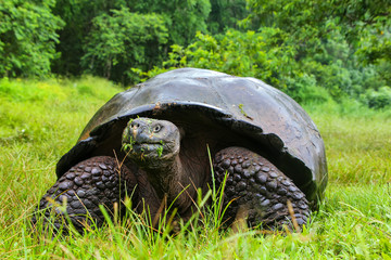 Galapagos giant tortoise on Santa Cruz Island in Galapagos Natio