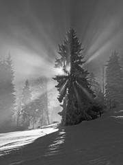 Sun rays repress the fog, Tanne mit Lichtkranz