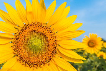 The sunflower with blue sky background
