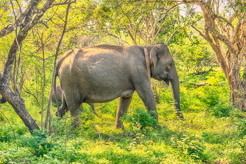 Sri Lanka: wild elephant in jungle of Yala National Park