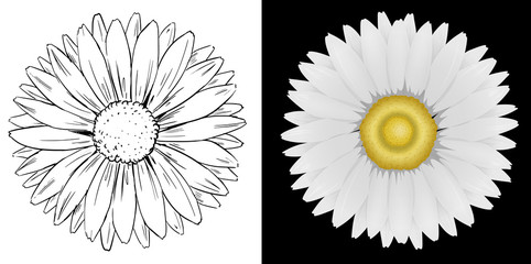 Daisy flower on white and black background
