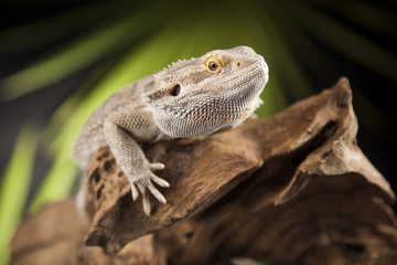 Animal Lizard, Bearded Dragon on mirror background