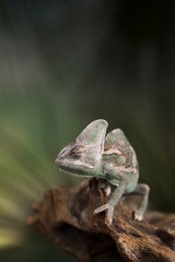 Animal, Chameleon lizard