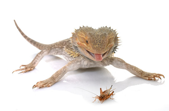 bearded dragons eating cricket