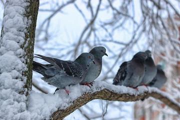 Winter pigeon sitting on a tree