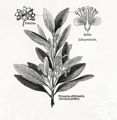 Allspice (Pimenta dioica, Pimenta officinalis) (from Meyers Lexikon, 1895, 7/542/543)