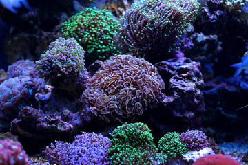 Colorful LPS corals
