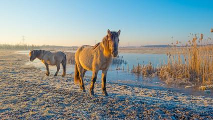 Horses along the shore of a frozen lake at sunrise