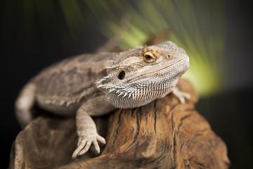 Lizard root, Bearded Dragon on black mirror background