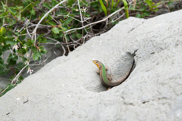 Smaragdeidechse in Steinmulde
