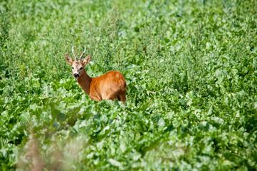 Junger Rehbock im grünen Feld