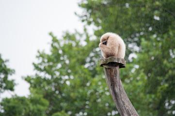 Affe sitzt zusammengekauert im Regen