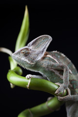 Chameleon on bamboo on a black background