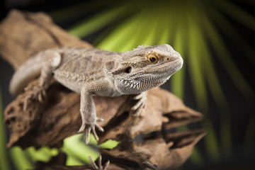Lizard root, Bearded Dragon on black mirror background