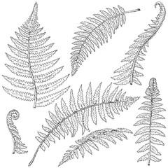 Fern Leaves Sketch