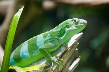 Grüner Leguan auf Ast