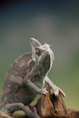 Chameleon, lizard sits at the root