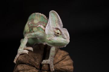 Green chameleon on the root, lizard, black background