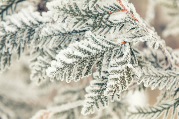 Winter holiday background. Branch thuja cypress tree in snow. Thuja cypress tree branches covered with hoarfrost. Coloring and processing photo with soft focus in instagram style.