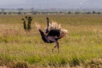 Male ostrich dance to woo a female