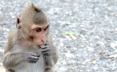 Cute monkey lives in a natural forest of Thailand,Baby monkey eating fruit.soft focus of animal wildlife.