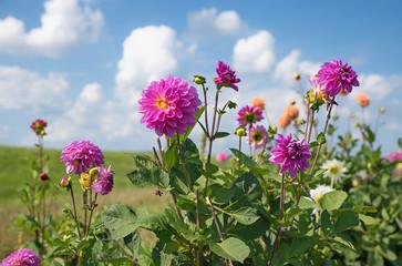 Fototapete - rosa Dahlienstaude am Blumenfeld, blauer Himmel mit Wolken