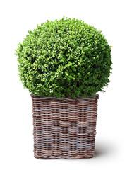 Buchsbaumkugel in geflochtenem Pflanzkorb, sioliert auf weißem Hintergrund