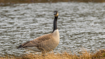 Wild goose standing in a pond among the thickets. Nisqually wildlife refuge, Washington, USA