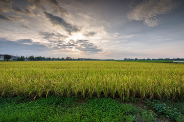 Rice field at sunset time