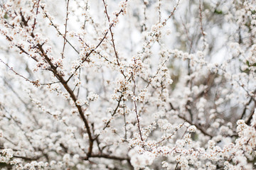 Close-up of white cherry blossom in spring