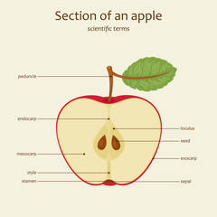 Apple parts names, vector