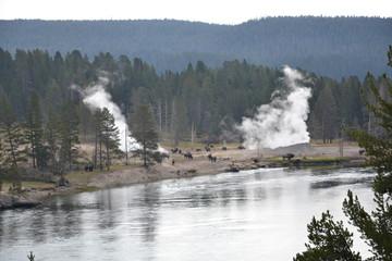Bison (Bison bison) and geysers. Yellowstone NP. Wyoming. USA