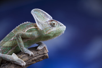 Green chameleon,lizard on blue sky background