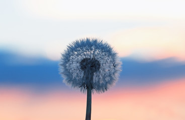 Photo sur Plexiglas Pissenlit white fluffy dandelion on a background of the sky tri-color as flag