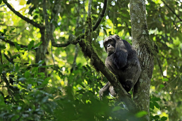 Common Chimpanzee (Pan troglodytes), in a Tree. Kibale Forest, Uganda