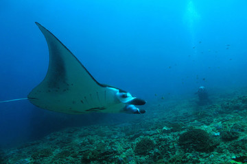 Manta Ray (Manta Birostris) Swimming over the Reef, with a Photographer in the Background. Nusa Penida, Bali, Indonesia