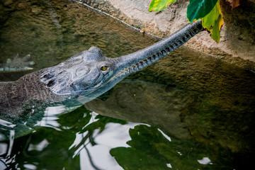 Gavial du Gange