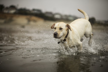 Golden labrador running in the sea on a beach.