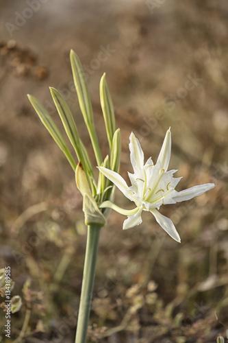 Fiore di giglio bianco selvatico fiorito stock photo and for Cabine di giglio selvatico