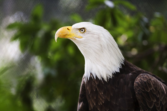 Bald eagle in the wild.