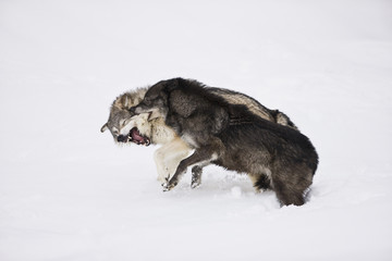 Two wolves fighting in the snow