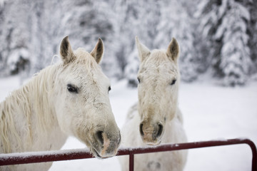Horses looking over the fence in winter