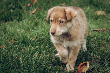 amazing brown puppy with amazing blue eyes on background of autu
