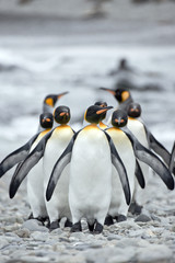 Group of Emperor Penguins (Aptenodytes forsteri) walking together in a line on a beach.