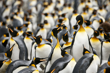 Colony of Emperor Penguins (Aptenodytes forsteri) congregate together on a beach.