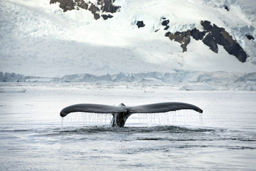 Tail belonging to a whale emerges from the sea.