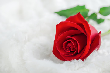 Close up of red rose flower on white fur background