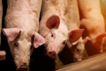 Pig portrait at farm.